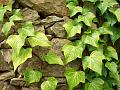 &quot;Ivy <em>(hedera helix)</em>&quot; Photography digital photo &copy; 2005 Photographer Bogumila Dausend