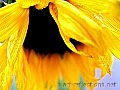 """Sunflower"" Photography  © 2010 Photographer Ingrid Funk"